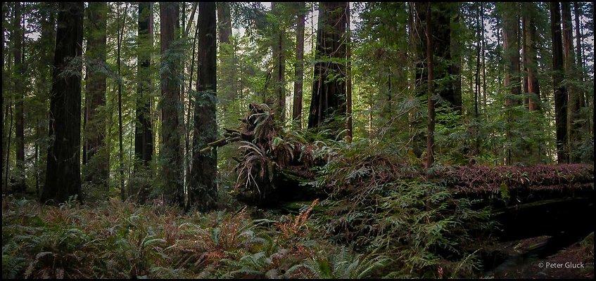 humboldt redwoods 025